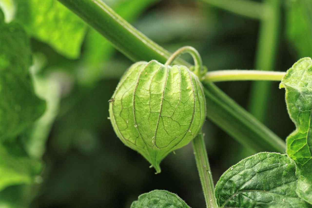 Tomatillo: Health Benefits And Nutrition