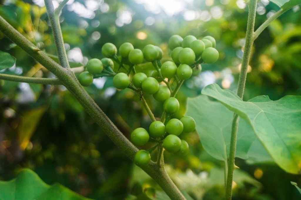 சுண்டைக்காய் நன்மைகள் - Benefits Of Turkey Berry In Tamil
